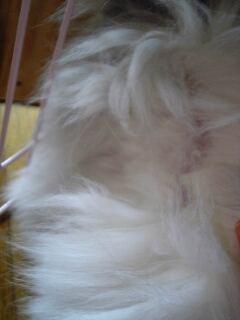 姫、とうとう毛刈る!