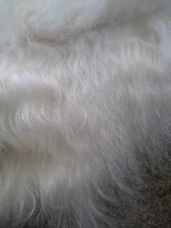 ボルゾイの毛はソバージュ!