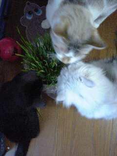 猫の草、大評判!