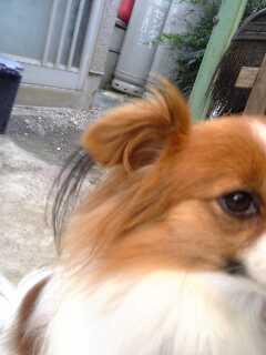 パピヨンの耳って、こんな?
