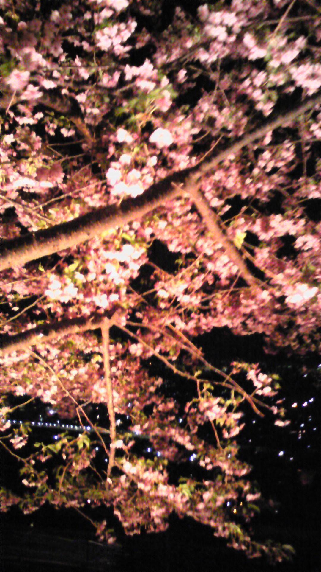 松田山の桜、まだまだ見頃!