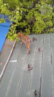 隣の猫、ベランダに来る。