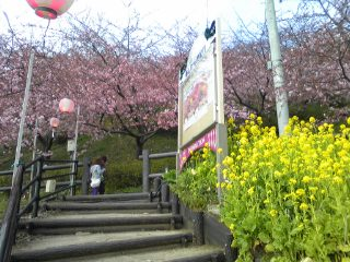 松田山の桜!