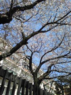 武蔵野音楽大学の桜!