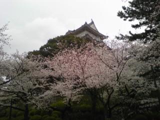 小田原城の桜!