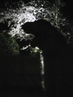 夜桜をバックに、ボルゾイを撮ってみた!