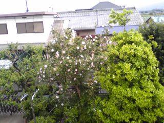 箱根山椒薔薇、満開!