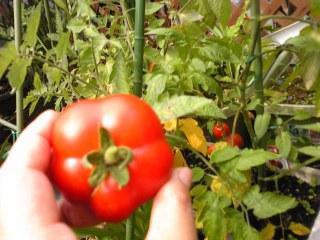 トマト、なったよぉ〜!