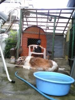 ボルゾイ「ルナ」、夏の涼み方(<br />  ^O^)