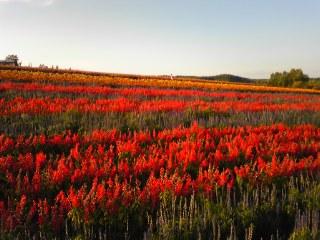 富良野の花畑は、まだ楽しめましたぁ(^O^)/