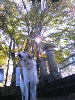 母校と神社に、ボルゾイと散歩(<br />  ^O^)