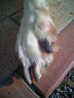 ルナ、左前足の爪を切らせない(<br />  &gt;_&lt;)