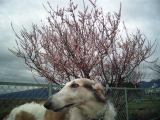 散歩コースに桃の花(^o^)