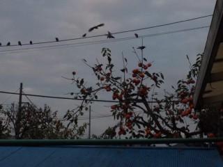 柿の木で、ムクドリが食事。