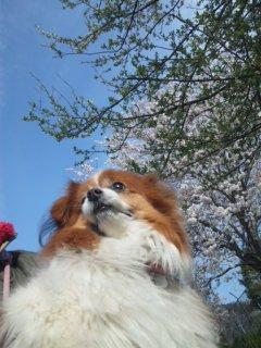 地域の集会所の桜。