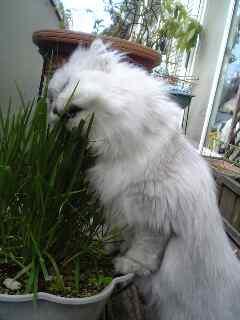 猫の草って、こんなに伸びる!