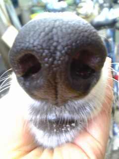 ボルゾイの鼻!