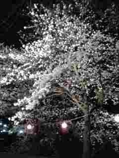 南足柄大口の桜。