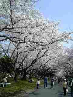 小田原造幣局の桜