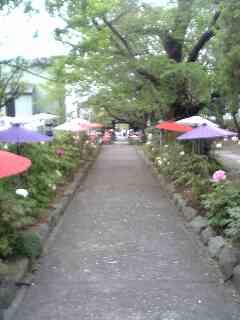 松田町延明寺で、「ぼたん祭。」