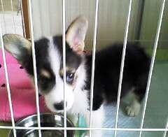 コーギーの子犬!